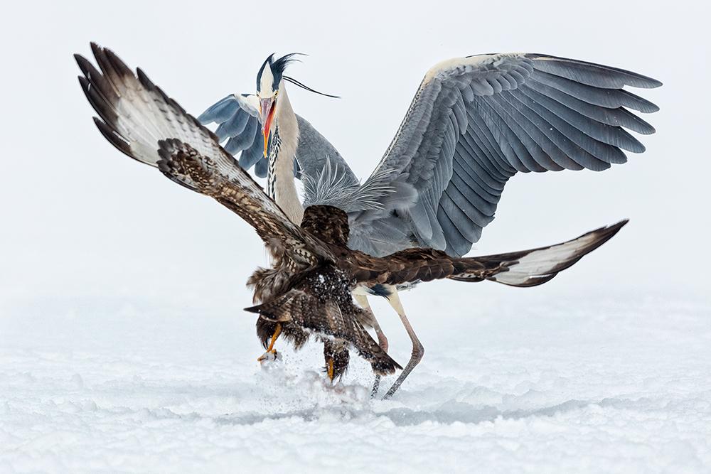 Heron vs Buzzard