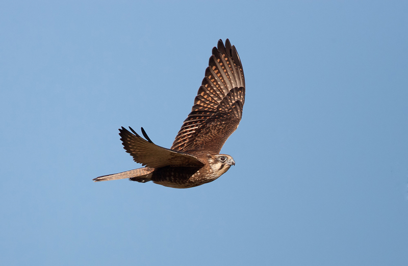 Barna Solyom (Falco berigora), Brown Falcon