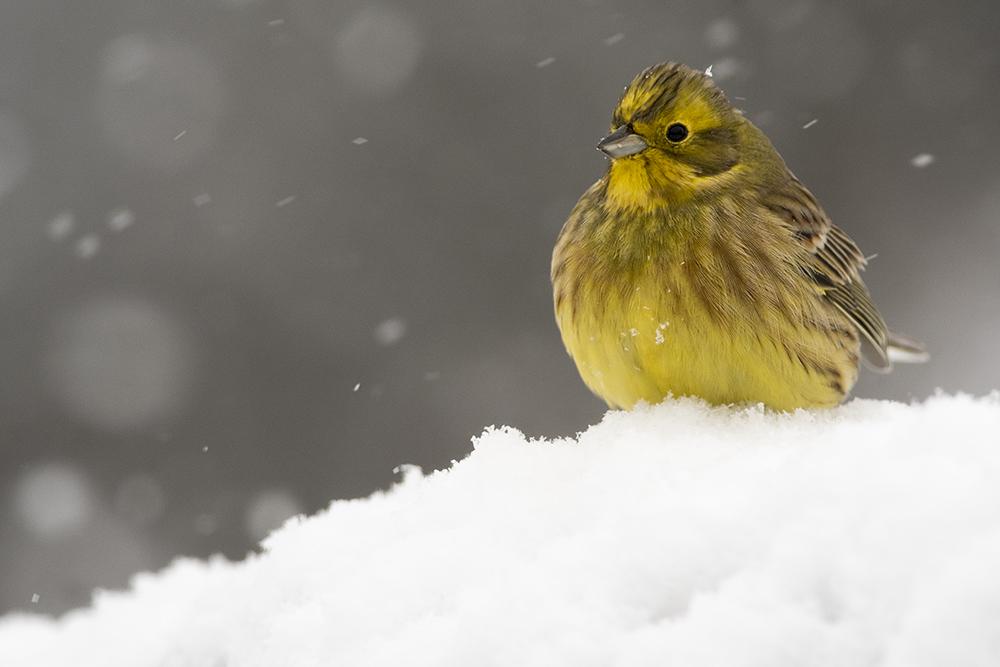 Citromsármány hóesésben