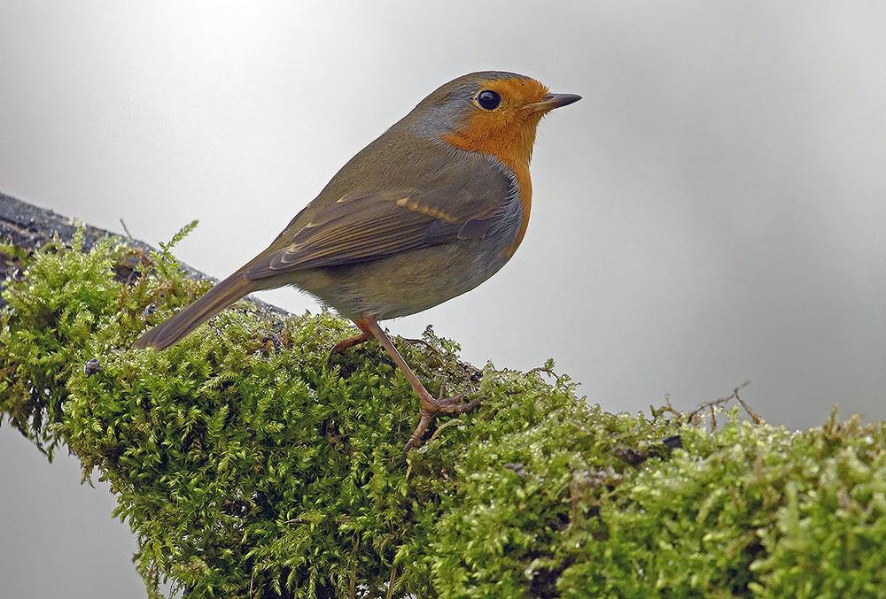Robin az etetőn