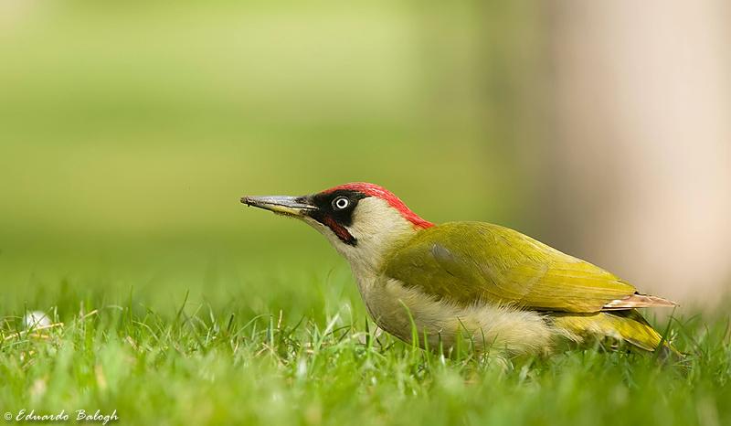 https://www.birdphotography.hu/sites/default/files/images/dsc_4763.jpghtr.jpgb_filtered.jpg