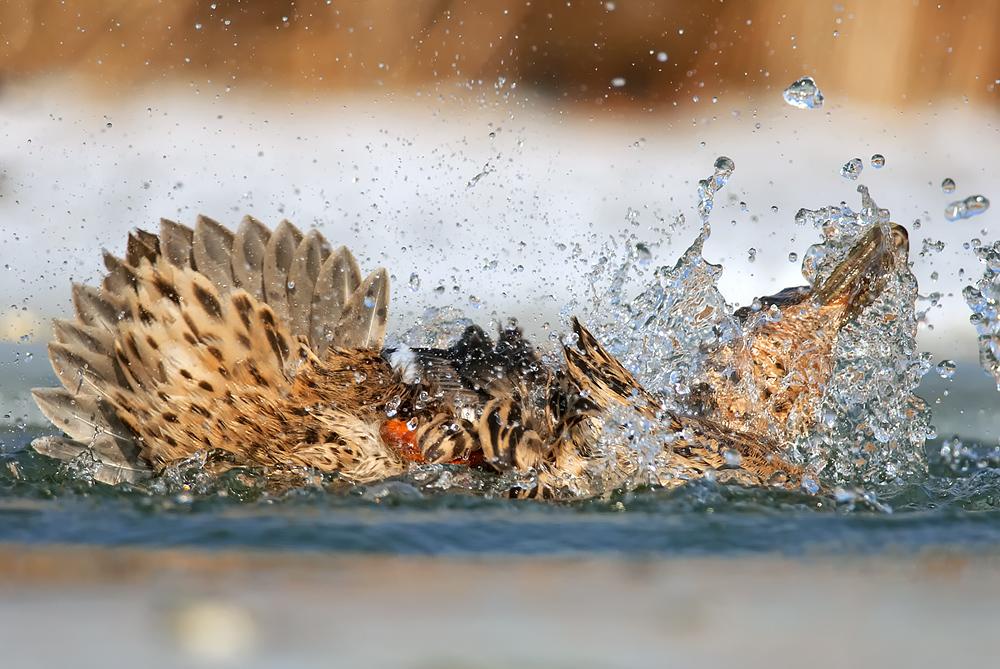 Kis kacsa fürdik...