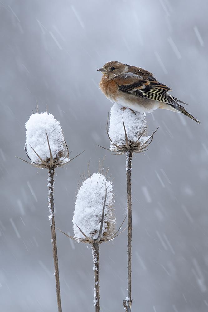 Fenyőpinty hóesésben