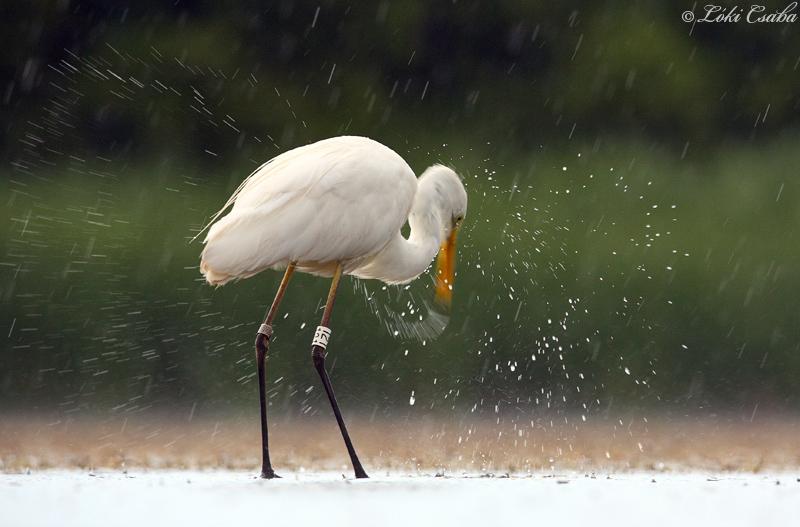 Fejrázás esőben