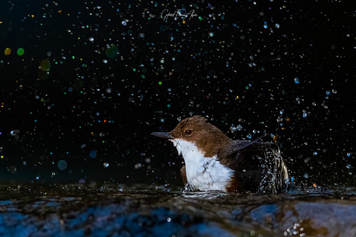 A vízirigók is fürdenek