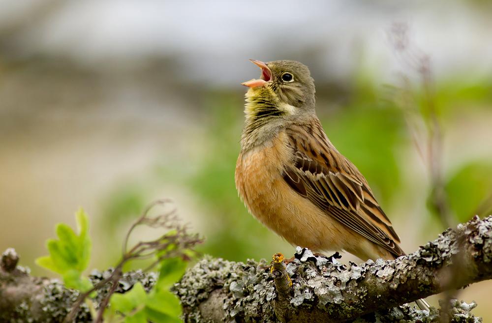 http://birdphotography.hu/sites/default/files/images/kerti_bph.jpg