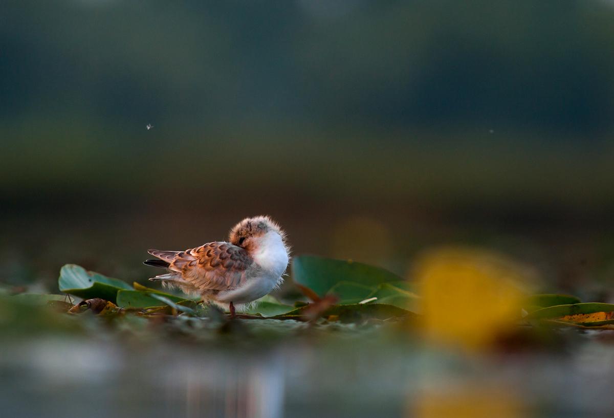 Víznek virága